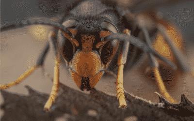 Comment détruire un nid de frelons ou un nid de guêpes ?