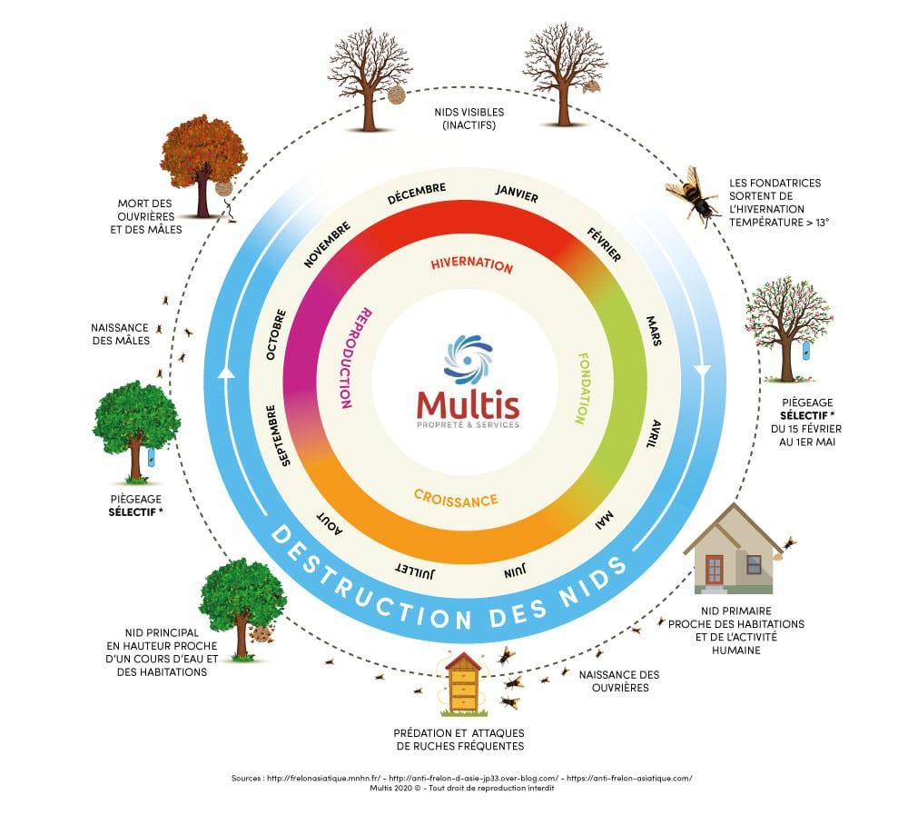Cycle de vie des Frelons asiatiques - Multis 36