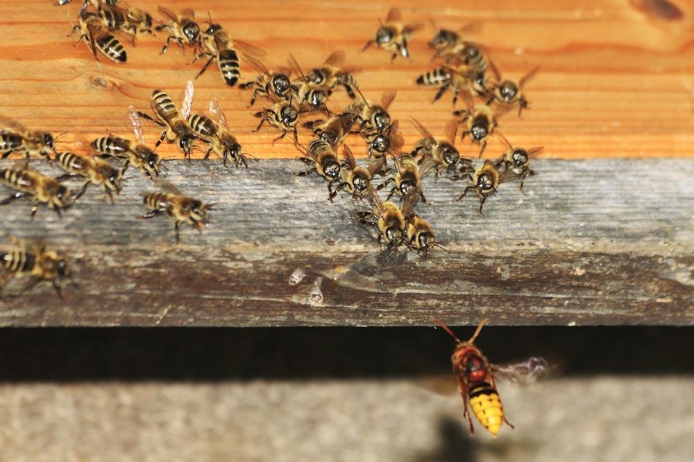Frelons asiatiques attaque d'une ruche par des abeilles - Multis 36 propreté